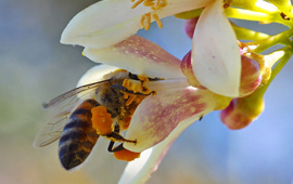 bee at a lemon blossom