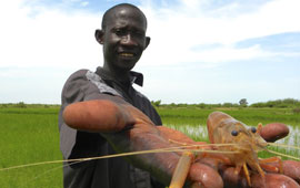 research assistant in Senegal holding a freshwater prawn in his hand